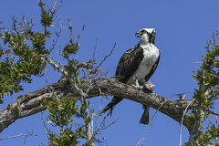Osprey with catch of the day (Mel Diotte) Tags: osprey with catch day mel diotte