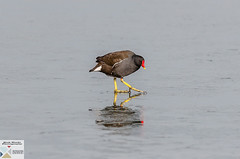 WWTL_DSC0004 (Nick Woods Photography) Tags: bird birds birdbehaviour birdconservation wader wadingbird wadingbirds wwt wwtlondon wildlife wildbird wildlifewetlandstrust wildlifebehaviour feathers waterfowl waterbird waterprooffeathers winter ice frozen moorhen