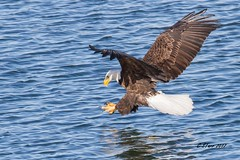 IMG_9164 american bald eagle (starc283) Tags: wildlife winter eagle americanbaldeagle bird birding birds baldeagle starc283 flickr flicker nature naturesfinest naturewatcher nebraska outdoors outdoor canon7d canon