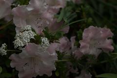 jdy154XX20160602a1790.jpg (rachelgreenbelt) Tags: ghigreenbelthomesinc achilleamillefoliumwhite usa subfamilyasteroideae achillea asteridsclade ouryard orderericales americas supertribeasterodae orderasterales eudicots tribeanthemideae midatlanticregion familyasteraceae campanulidsclade subfamilyericoideae greenbelt familyericaceae maryland rhododendrongenus northamerica magnoliophyta allheal anthemideae anthemideaetribe asterfamily asteraceae asteraceaefamily asterales asteralesorder asterids asterodae asterodaesupertribe asteroideae asteroideaesubfamily asters bloodwort compositaefamily compositefamily daisyfamily floweringplants oneplant rhododendrongwenda singleflower singleplantportrait spermatophytes sunflowerfamily yarrow