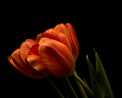 Three Orange Tulips 1126 (Tjerger) Tags: nature beautiful beauty black blackbackground bloom blooming blooms closeup fall flora floral flower flowers green macro orange plant portrait three trio tulip tulips wisconsin natural