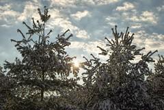 Oh happy day....more snow! (Joe Hengel) Tags: ohhappyday ephrata ephratapa pennsylvania pa tree trees twotrees pinetree clouds morning morninglight goodmorning watchingthesunrise sunrise sunburst cloudsbluesky bluesky blue winter wintersky