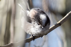"""longtailedtit-b • <a style=""""font-size:0.8em;"""" href=""""http://www.flickr.com/photos/157241634@N04/40442024442/"""" target=""""_blank"""">View on Flickr</a>"""