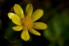 ヒメリュウキンカ Lesser celandine (takapata) Tags: sony sel90m28g ilce7m2 macro nature flower