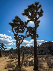 Joshua_Tree-2