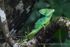 Green/ Verde (Natalia Decastro) Tags: basilisco basilisk lagarto reptiles basiliscus nature wildlife bocas del toro panama naturaleza canon photography