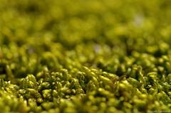 Mossy bokeh (Hypnum cupressiforme) (damianziel) Tags: tamron tamron90mm moss nature natur natural light macro macrounlimited makro plants bokeh dof naturallight colours color colorful art pentaxart pentax pentaxk50 primelens 90mm closeup