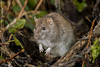 Ratty! (Linda Martin Photography) Tags: rattusnorvegicus weymouth rspb brownrat radipolelake nature mammal dorset uk wildlife coth naturethroughthelens alittlebeauty ngc coth5 npc