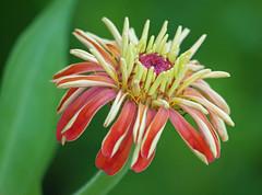 Zinnia (Matt C68) Tags: calanbosch calan bosch cap dartrutx capdartrutx menorca balearic island spain holiday vacation flower zinnia panasonic lumix g7