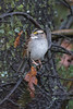 White-throated Sparrow, Litton Trail, Nevada County, CA 1/10/18 (calibirder) Tags: whitethroatedsparrow zonotrichiaalbicollis wtsp yellowsupraloralmark conspicuouswhitethroat birdingintherain littontrail nevadacounty