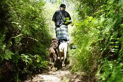 walking through cool (Bl.Mtns.Grandma) Tags: ddogchal boxer dog walk ferns