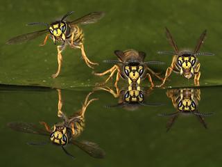 three wasp reflection