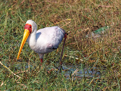 20170725-153830-00553B- (hugoholunder) Tags: okovangodelta botswana flickr afrika