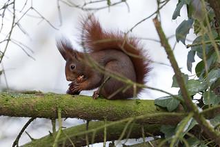 Eichhörnchen / Eurasian red squirrel