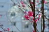 Plum blossom, 梅花 #9 (daniel0027) Tags: redprumusmume prunusmumesetz pretty earlyspringflower flowers springflower 紅梅花 redplumblossoms japaneseapricotflower red