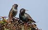 Starlings (Greylake) (Steve Balcombe) Tags: bird starling sturnus vulgaris rspb greylake somerset levels uk