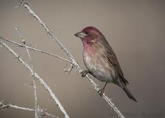 Purple Finch (Ruthie Kansas) Tags:
