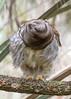 The Exorstrix (PeterBrannon) Tags: bird birdphotography florida nature strixvaria wildlife barredowl blurredowl excorcist funny lizard owl portrait