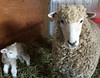 First time mother (baalands) Tags: sheep ewe lamb single leicester longwool english