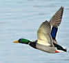 Just A Duck... (Vidterry) Tags: duck mallard mallardinflight cedarlake winterphotography frozenlake