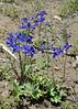 Delphinium, Modoc Co., CA (RonParsonsflowershots) Tags: delphinium modocco ca