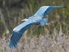 Wingspan of the heron (Paul Wrights Reserved) Tags: bird birding birds birdwatching birdphotography birdinflight flying