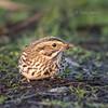 Savannah Sparrow 20171129_3560 (GORGEous nature) Tags: clarkco passerculussandwichensis passerine ridgefieldnwr savannahsparrow sparrows vertebrates washington bird fall foraging water wetland november ©johndavis