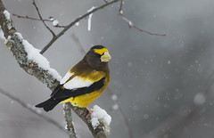 Evening Grosbeak Male_E1U7033 Jan 2018 (www.sabrewingtours.com) Tags: upper peninsula michigan winter photo workshop brian zwiebel bz sabrewing nature tours snt photography tour evening grosbeak male northern finch snow