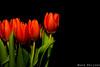 tulips part 2 by Mitakon 85 mm f/2.0 (wardkeijzer_107) Tags: tulips mitakon 85mm hand focus colors nikon d7200
