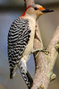 Red Bellied Woodpecker (JRJImages) Tags: animal bird fauna hogbacknaturecenter nature ohio redbelliedwoodpecker wildlife woodpecker