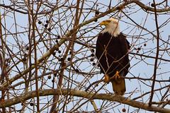 "AmericanBaldEagle_01 (DonBantumPhotography.com) Tags: wildlife nature birds animals americanbaldeagle buttecounty ""donbantumphotographycom"" ""donbantumcom"" ""nikon d7200"" ""afs nikkor 200500mm f56e ed vr"""