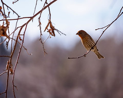 House Sparrow (droy0521) Tags: bokeh wildlife winter backyardphotography bird colorado sparrow places outdoors