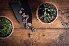 More Succulents (Ramón Antiñolo) Tags: succulents lowkey botanical botany gardening green hobby houseplant interior leaf minimalism nature ornamental plant pot retro simple succulent vegetation vintage wooden low key