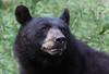 Black Bear (ashockenberry) Tags: bear blackbear naturephotography ontariowildlife ontario ontarionature teeth ursusamericanus boreal northern