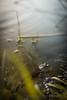 """Stratégie """"r"""" (Sylvain Paligot - Captures de lumières) Tags: grenouille frog frogs grenouilles frost mare ponte spawn morning aube dawn pond"""