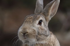 20180106_IMG_6291 (NAMARA EXPRESS) Tags: animal rabbit eye face okuno island cloudy daytime winter outdoor color okunoisland kasahara hiroshima japan canon eos 7d sigma 50mm f14 dg hsm art namaraexp