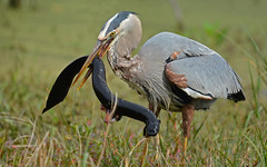 Great blue heron (Ardea herodias) with a greater siren, a large salamander (jeremy_cohen) Tags: wetlands swamp florida heron greatblueheron lunch dinner snack eat food predator attack hunt salamander amphibian