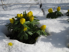 2018 - 's Gärtle im Februar (tante_erika) Tags: gärtle winterlinge