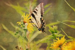 Tiger by the Tail (socalgal_64) Tags: carolynlandi texture nature wild colorful pottercounty pennsylvania tiogapa flowers natural butterfly swallowtail tiger easterntigerswallowtail insect usa ngc coth5