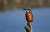 Kingfisher posing perfectly. (Explored). (spw6156 - Over 6,404,003 Views) Tags: kingfisher posing perfectly iso 640 cropped copyright steve waterhouse explored