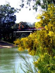 Wattles by the Murray, Echuca, Victoria (Diepflingerbahn) Tags: wattle acacia shrub tree echuca victoria fujifilmfinepixs5800s800 roadrailbridge