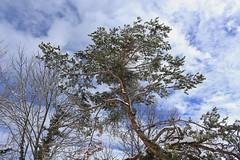 pin d'hiver (bulbocode909) Tags: valais suisse pins arbres nuages ciel hiver neige bleu vert nature montagnes