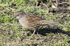 """dunnock • <a style=""""font-size:0.8em;"""" href=""""http://www.flickr.com/photos/157241634@N04/26613923968/"""" target=""""_blank"""">View on Flickr</a>"""