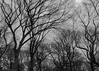 Grey and Tangled in Central Park (Scott Yeckes) Tags: grey greyday nyc nature newyork solitary winter aypclub blackandwhite branches centralpark centralparknyc leaflesstrees manhattan monochrome mysterious perspective pointofview pov solitude streetphotography tangledbark trees