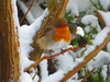 Robin Redbreast surviving March 2018 (gallftree008) Tags: robin redbreast surviving beast from east storm emma back garden swords co dublin ireland 02032018 thebeastfromtheeast stormemma