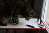Alice and the pen drive (Alfredo Liverani) Tags: happy caturday happycaturday catshitech canong5x canon g5x pointandshoot point shoot ps flickrdigital flickr digital camera cameras europa europe italia italy italien italie emiliaromagna romagna faenza faventia faience animal kitten gatto gatta gatti gatte cat cats chats chat katze katzen gato gatos pet pets tabby furry kitty moggy moggies gattino animale ininterni animaledomestico aliceellen alice ellen