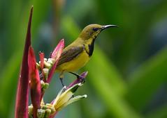Olive-backed Sunbird (anacm.silva) Tags: olivebackedsunbird bird wild wildlife nature naturaleza birds aves singapore singapura asia ásia sunbird ave nectariniajugularis cinnyrisjugularis coth5