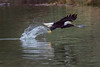 Adult Bald Eagle Leap (Rusty Turnbuckle) Tags: baldeagle skagitriver water feathers bird pacificnorthwest washingtonstate