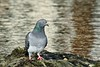Pigeon - Montpellier (Marc ALMECIJA) Tags: pigeon montpellier oiseau bird aves vogel nature natur wildlife sony rx10m3 reflet reflections eau water aqua