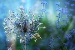 15. Old & New (Small and Beautiful) Tags: lavender onion flower digital art 15365